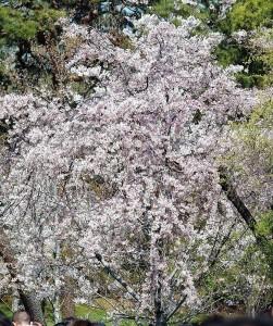2019-04-04 皇居 通り抜け (19)