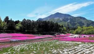 2021-04-22 芝桜の丘 羊山公園 (1)