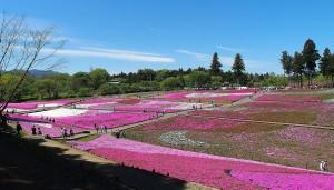 2021-04-22 芝桜の丘 羊山公園 (2)